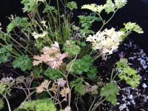 find-waldo-black-swallowtail-caterpillars-chomping-on-parsley