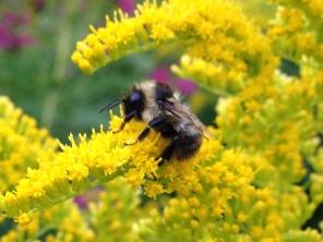 goldenrod-with-bumblebee
