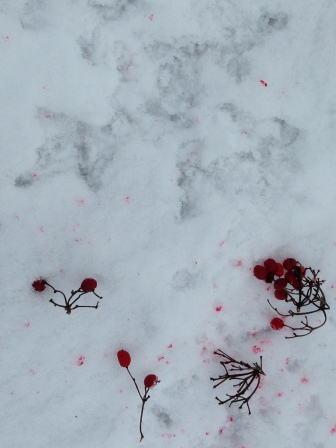 Grouse feeding on High Bush Cranberries
