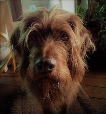 brown dog, staring